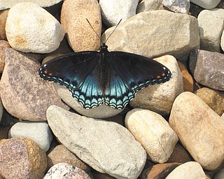 Teri Cecil sent this picture of a butterfly in the driveway last summer at her home in Youngstown..
