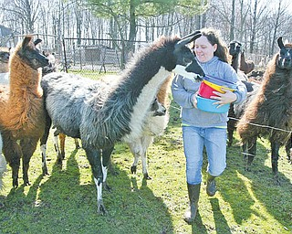 William D. Lewis|The Vindicator Spacey Llama Ranch in Lowelleville is home to more than 50 llamas Charlene Arendas gets up close wih some of the llamas.Her parents Debbie and Chuck Arendas own the ranch.