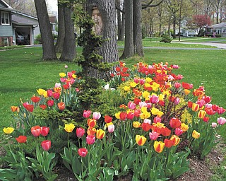 These beautiful tulips bloomed at the home of  Bill and Sandee Timmerman in Austintown.