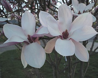 This closeup of the blossoms on a magnolia tree at the home of Bill and Sandee Timmerman in Austintown was taken before the frost got it.