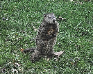 Elaine Kollar spotted this groundhog in her yard in Coitsville.
