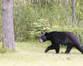 Residents in the 1100 block of Mathews Road in Boardman spotted this young black bear behind their homes.