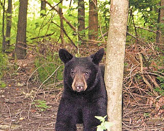 This black bear was spotted for the second day wandering in Boardman Township. On Thursday the bear was seen on Glenwood Avenue, Ewing Road and Wildwood Street.