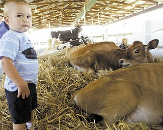 Trevor Frantz, 2, appears to be a bit apprehensive as he gets a close look at cows at the Trumbull County Fair. Trevor was visiting the fair Tuesday with his mother, Holly Frantz, of Vienna. The 164th annual event  runs through Sunday at the fairgrounds at Hoagland Blackstub and Everett Hull roads in Bazetta.