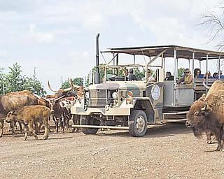 A safari ride rolls through Wagon Trails as the animals approach for feeding.