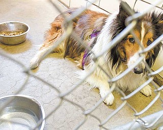 Rio, a Sheltie, underwent surgery to remove a tumor. Ebert Animal Hospital sees about 50 pets, mostly cats and dogs, each day.