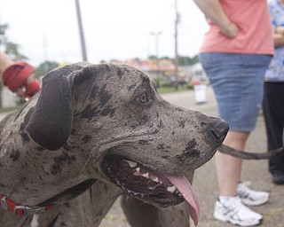 LISA-ANN ISHIHARA | THE VINDICATOR..8 month old Merle Great Dane, Tito, waits outside of Happy Paws Spa & Day Care during a wellness clinic.Tito belongs to Amanda and Sean Packo of Austintown.