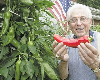 Michael Lacivita shows off a red pepper he grew at his Youngstown home. His pepper plants are more than 5 feet tall, and he says one secret to such a harvest is constant hydration.