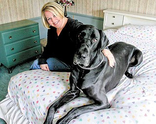 Hillary Madeline of Howland Township sits with Schmooka, a 3-year-old Great Dane that she and her husband, Brian, have had since the dog was 7 months old. ÒSchmookaÓ is Danish for Òbeauty.Ó Hillary Madeline said SchmookaÕs personality is as big as she is. The dog claimed the bedroom as hers..