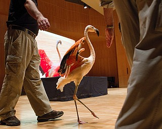 Geoffrey Hauschild|The Vindicator.A flamingo is brought on stage during a performance by the Youngstown Symphony in conjunction with Jack Hanna at the DeYor performing Arts Center on Sunday afternoon.