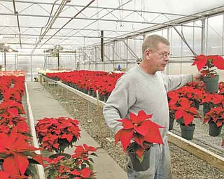 Richard Graney, who works in the land-management area at Villa Maria Farm, tends to poinsettias in the greenhouse on the grounds of Villa Maria Community Center in Villa Maria, Pa. The greenhouse, heated by a wood-burning furnace, produces seasonal flowers and plants and is part of the farm operation.