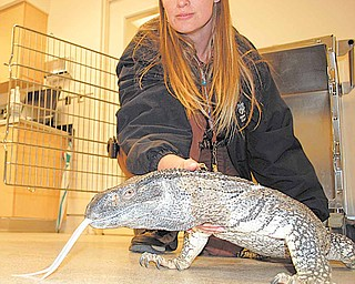 This image provided by Riverside County Animal Services shows Animal Services officer, Kim McWhorter, holding a 5-foot long Monitor lizard that animal control officers found wandering around a condo complex in the city of Riverside, Calif., Tuesday Jan. 25, 2011. Black-throated Monitor lizards are carnivorous and native to the grasslands of Africa. (AP Photo/ Riverside County Animal Services)