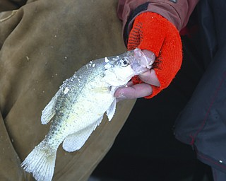 ROBERT K. YOSAY | THE VINDICATOR..Ice Fishing is cool -  a fresh crappie  caught by Jim Bakalar of Poland at Mosquito Lake in Trumbull county .  Crappie(s) are excellent this time of year.... Ó--30-..