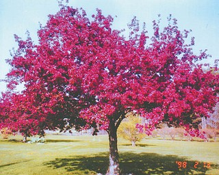 Barbara Cua of Berlin Center sent in this colorful photo of a beautiful tree in her front yard, taken last spring. She said she framed it and it gets her through the winter!