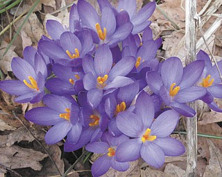 Crocuses — a sure sign of spring! Photo taken in North Jackson and sent in by Sandi Muir, also of North Jackson.