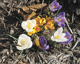 Here are spring flowers in front of St. Patrick School in Hubbard. Mrs. Bond's kindergarten class planted the bulbs. Photo submitted by Roberta Robinson.