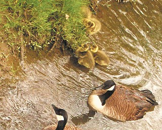 Jordan Downie, 12, of Poland took this photo of geese and goslings in Yellow Creek on a walk home from school in May 2010. She always looks forward to seeing new baby animals in Poland Woods, especially ducklings and goslings in Yellow Creek.