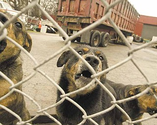 Dogs guard a trucking company at 1300 Oak Hill Ave. City and Mahoning County officials swarmed over a section of the South Side investigating public nuisances, including unlicensed dogs, loose dogs, litter accumulation and abandoned vehicles.