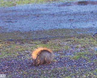 Derith Eberhard of Salem sent this picture of a squirrel caught in the rain. She says it looks like it has an umbrella up.
