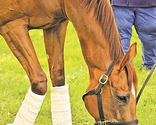 Kentucky Derby winner Animal Kingdom grazes on fresh grass after the ride from Kentucky to Herringswell Stables at Fair Hill Training Center Tuesday, May 10, 2011 in Elkton, Maryland. Animal Kingdom is training for the Preakness.