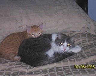 Dino, the gray and white cat in front, was adopted from Angels for Animals about 8 years ago by Dave and Wendy Billock of Poland. He's hanging out with Spanky, a stray that they also brought into the family.