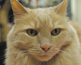 This is Noah. Bob Durick of Struthers obtained him from a couple who foster abused cats. Noah was not abused. He was dumped at a doorstep when his previous owners moved out of their residence. Noah liked to play but the abused cats didn't know how to play.