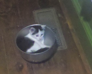 This photo of Eartha Kitten was submitted by Avery Ball of Alliance. She was adopted this past Earth Day, April 22, and is now 10 weeks old. Although she is playing in the dog's bowl, they have not let the dog eat her as a snack. Eartha was rescued from the Stark County Humane Society.