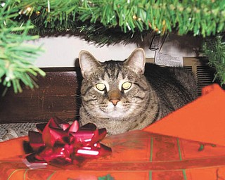 """Dave Messersmith of Youngstown says his cat is not """"officially adopted"""" from a shelter. He was a stray that worked his way into his life! He found Messersmith in November 2005. The vet """"guestimated"""" his age then at 2 to 3 years."""
