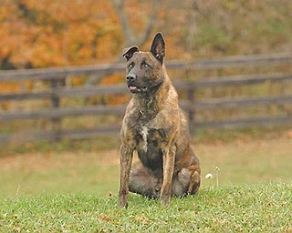 Chico, a Dutch shepherd, trained to serve as a police dog by Tri-State Canine Services of Trumbull County for the city of New Castle. The dog died Saturday after being left in a cruiser for two hours in  90-degree temperatures.