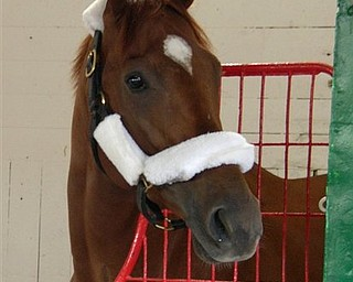 In this photo released by the New York Racing Association, Kentucky Derby winner Animal Kingdom is shown in his stall, Sunday, June 5, 2011 in Elmont, N.Y. Animal Kingdon is set to face Preakness winner Shackleford in Saturday's Belmont Stakes. (AP Photo/NYRA, Adam Coglianese)