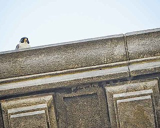RAMI DAUD   THE VINDICATOR.A peregrine falcon made its home on the fourth floor of the Mahoning County Courthose seen here on the afternoon of June 13.
