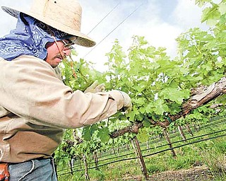 A worker for Wente Family Estates strips unwanted shoots from cabernet sauvignon grape vines growing on the Silva Ranch in Livermore, California, Tuesday, June 7, 2011. Late rains could be a boon for area vintners however, as the threat of powdery mildew is greater with the late rains and oncoming heat. (Jim Stevens/Contra Costa Times/MCT)