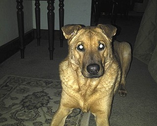 Scout, part Lab/part Sharpei, will be 7 years old in August. Christine Silvestri of Youngstown says they found him in the street at a house party. He was about 3 months old at the time. He has two brothers and two sisters (cats) at home.
