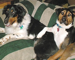 "Jenn from Bristolville says: ""Briggsey was rescued from the Mahoning County Pound, and I adopted him through For the Dogs in August 2009. Maddie was adopted through Northeast Ohio Collie Rescue in February 2007, and they are best of friends!"