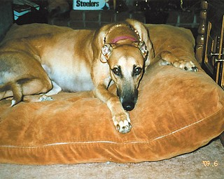 Britney, a retired racing Greyhound, was rescued by Darlene and John Bartholomew of Hermitage, Pa., in March 2009 when her racing days were over at Wheeling Downs in West Virginia.