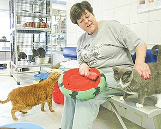 Lynn Mitchell, a board member of Angels For Animals, volunteers at the animal shelter in Canfield. Here, she tends to cats up for adoption.