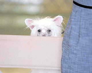 Hatchy, a Chinese Crested, peers over owner Suzanne Vugas' chair. Vugas traveled from Canada to participate in the Canfield dog show.