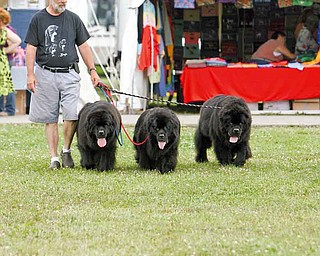 Joe Zygowski of Canton exercises Cash, Sammy and Bubbles at the Canfield Fairgrounds. Zygowski raises and shows Newfoundlands and beagles.