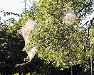 Fall webworms such as these in Bazetta Township come to Northeast Ohio every year but are more noticeable and plentiful than normal this year, according to an urban forester.
