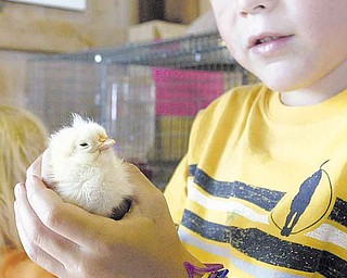 Gage Hunter, 6, of Poland, checks out a baby chick at Old McDonald's Barn at the 2010 Canfield Fair.