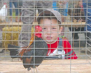 Isaac Ricketts, 10, of Columbiana practices with his rooster, getting ready for the 50th annual Canfield Fair Rooster Crowing Contest. Crowing records are held by the 2007 champions, Ethan Samuels in the junior division with 138 crows in 30 minutes, and Andrea Walls in the senior division with 123 crows.