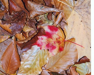 Lana Vannauker  of Canfield sent in this photo of leaves in Mill Creek Park.