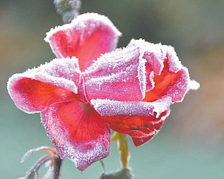 A rose, apparently not sure if it should bloom or succumb to the autumn cold, is painted with frost. Under clear frosty nights, soft ice crystals might form on vegetation or any object that has been chilled below the freezing point by radiation cooling. This deposit of ice crystals is known as hoar frost.