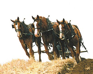"Michael J. Lacivita has titled this picture ""Amish County Gentle Giants."""