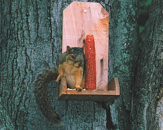 Mary Sigel of Youngstown says she has adopted Sammy as her pet squirrel for the last four years. He sits right up on the corncob stand and looks right at her.