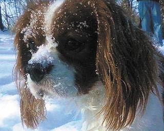 Bob and Susan Williams of Columbiana sent in this photo of Cutty Sark, their 2-year-old rescue dog, a Cavalier King Charles Spaniel who loves to play in the ice and snow.