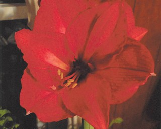This picture of the beautiful amaryllis was taken by Mary Cavanaugh of Columbiana.