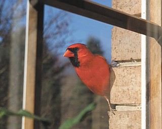 A bright red cardinal returns every year and spends hours a day trying to fly through the closed window. Mike Fox Jr. caught him on camera taking a break from pecking at the window.