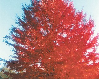 Here's a red maple at a farm in Canfield. Photo sent by Lana VanAuker of Canfield.
