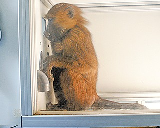 This undated handout photo provided by Joel Fagot and the journal Science shows Dora during a reading experiment. French researchers are showing that baboons can do what is essentially the first step in reading.